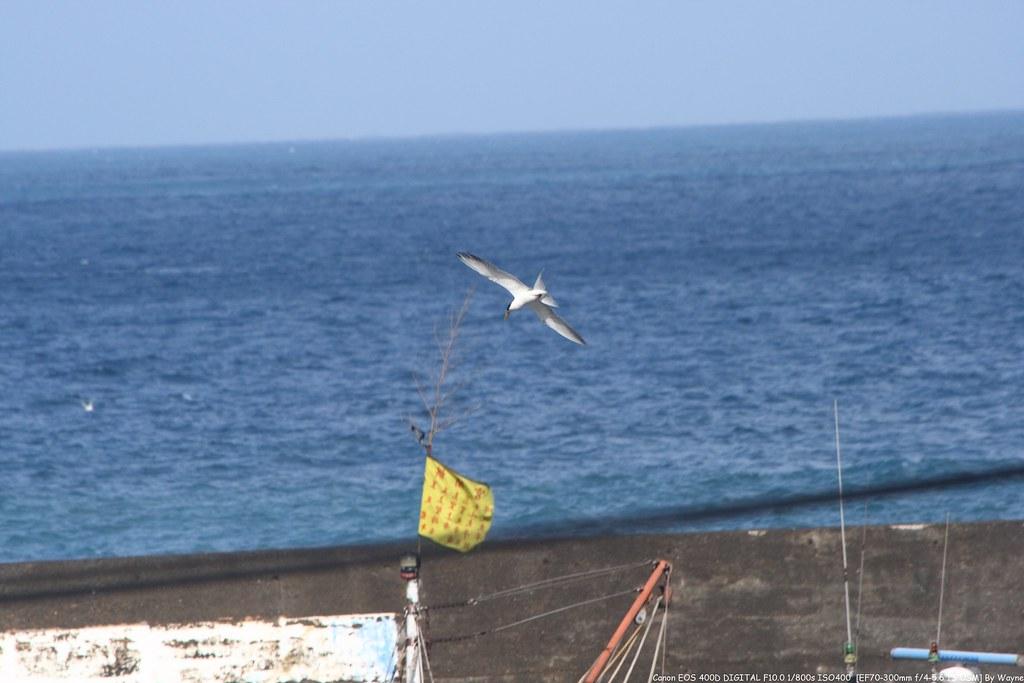 Creasted Tern 鳳頭燕鷗 IMG_6909