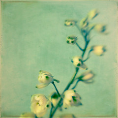 Le printemps (IrenaS) Tags: flowers blue white nature floral lensbaby square botanical bravo cream