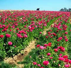 A Paradise of Pink (moonjazz) Tags: pink flower color field pastel harvest rosa ranunculus rows crop bloom pick carlsbad blossum mywinners abigfave colourartaward