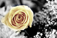 (Weda3eah*) Tags: baby white black flower rose yellow by cutout weda3eah