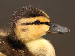 Baby Duck (ViaMoi) Tags: ontario canada canon duck pond ottawa duckling mallard 450d viamoi