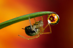 Flower dewdrop refraction #4 with spider (Lord V) Tags: flower macro water bravo dewdrop refraction naturesfinest animalkingdomelite mywinners abigfave ysplix alemdagqualityonlyclub alemdaggoldenaward goldenvisions