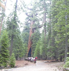 Approaching the Grizzly Giant, Mariposa Grove, Yosemite