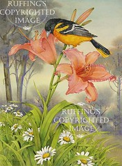 """Oriole and Daylily"" AER21 by A E Ruffing"