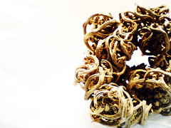 Resurrection Plant, Rose of Jericho, Anastatica hierochuntica