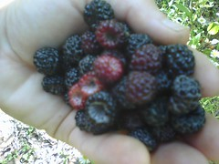 handful of black raspberries for dog food