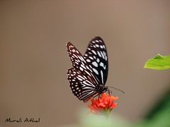 Dark Blue Tiger (Aithal's) Tags: blue black macro butterfly mangalore murali blacknblue canons3 bluetiger darkbluetiger aithal aithals