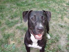 Laughing? (BaltimoreGal) Tags: stella dog cute puppy mutt sweet maryland baltimore pit pitbull blackdog labmix mixedbreed puppeh pitmix pitbullmix pitlab stellathedog