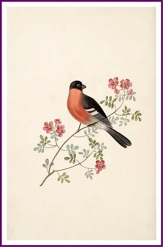 018-The bullfinch
