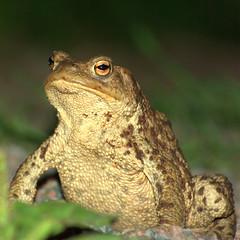 Everybody Loves Hypnotoad (nrantala) Tags: amphibian toad futurama bufobufo utö hypnotoad commontoad mywinners pentaxk10d allglorytothehypnotoad