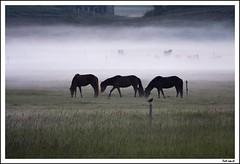 The Fog (Jokull) Tags: light horses white mist fog night canon dark island three photo iceland calm photograph 2008 stillness mystic sland icelandic jkull icelandicponies hestar jokull traveltoiceland plljkull cometoiceland