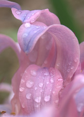 Petals (Canicuss) Tags: pink flowers blue macro water beautiful rain closeup droplets petals drops lily purple sony lilies fantasy surprise delicate a100 canicuss