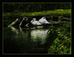 Swans (Tim Noonan) Tags: fab art water digital photoshop reeds dark effects pond bravo logs manipulation swans mosca treatment gbr cherryontop fineartphotos mywinners platinumphoto aplusphoto infinestyle diamondclassphotographer flickrdiamond theunforgettablepictures newacademy proudshopper theperfectphotographer life~asiseeit stealingshadows awardtree oraclex thewonderfulworldofbirds amoungthethorns passionateinspirations daarklands