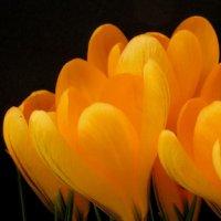 Crocus Yellow Mammouth