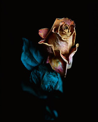 Eine rose... (Guido Frizzoni) Tags: flower rose sadness ancient dream rosa naturallight dried melancholy fiore secco mamiyarb67 fujivelvia100 autaut filmisnotdeaditjustsmellsfunny