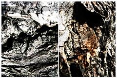 tree bark (simis) Tags: macro tree texture diptych bark photowalk fromarchives