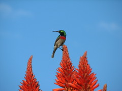 Lesser Double-Collared Sunbird (biancapreusker) Tags: game bird animal southafrica aloe wildlife aves safari tsitsikamma sunbird canonpowershots2 cinnyrischalybeus nectariniachalybea lesserdoublecollaredsunbird halsbandnektarvogel
