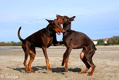 Campary & Destiny (Devilstar) Tags: dog playing beach funny dream destiny land doberman dobermann flox stroomi dobermanns campary koerad mngivad  legrant halettah