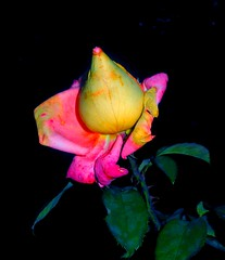 """a late ROSE"" -- THANK YOU! -- for 23oo !!:-)) (DDiamond1 ... Off) Tags: naturesfinest fantasticflower overtheexcellence picturefantastic excellentsflowers wonderfulworldofflowers flickrlovers 100commentgroup grouptripod gondenheartaward"