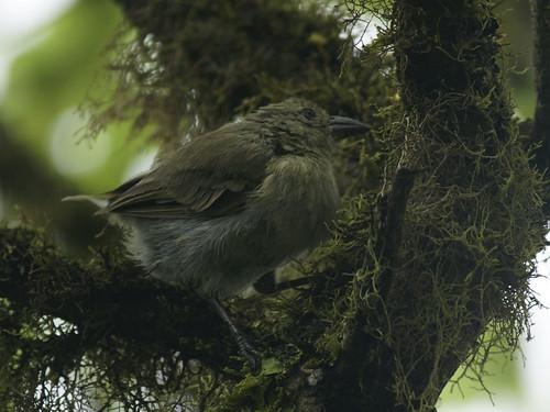 Woodpecker Finch (Camarhynchus pallidus) by kookr.