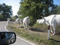 cows_0009