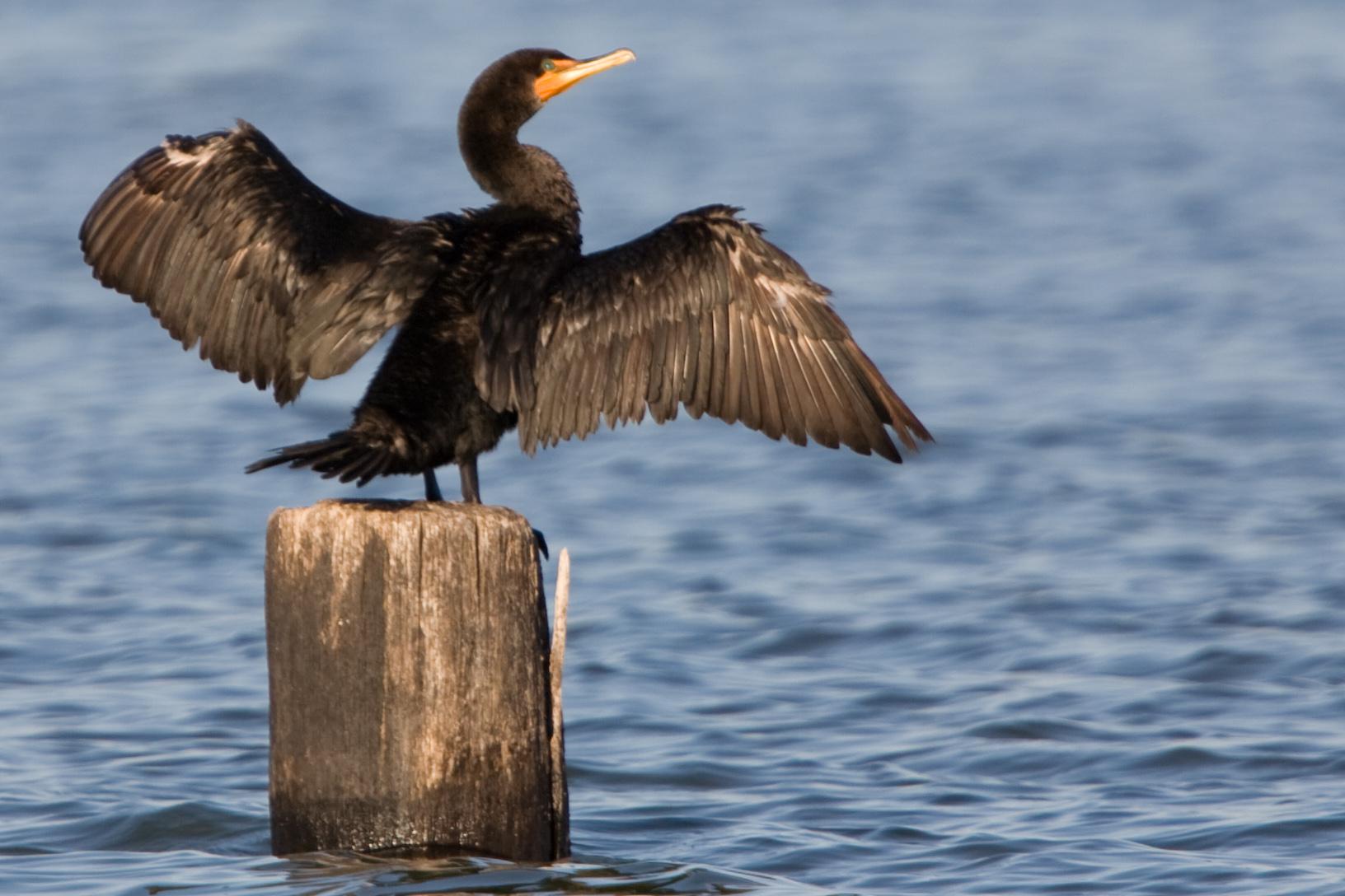 cormorant-crop