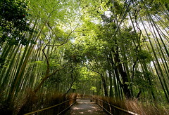 Els boscos de bamb d'Arashiyama / The bamboo forest in Arashiyama (SBA73) Tags: verde green japan forest kyoto camino grove path bamboo bosque  take nippon  kioto cami bamb kansai nihon jap sagano verd bosc japn corriol colourartaward 100commentgroup