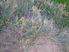 Plant 4 (cobalt.penguin) Tags: beach dunes sydney peninsula avalon barranjoey