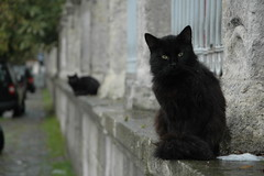 Istanbul cats (Timoluege) Tags: cats cat turkey blackcat october istanbul 2008