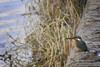 (Alieh) Tags: blue bird nature water grass wall river persian rainyday iran persia kingfisher iranian riverbank ایران esfahan isfahan اصفهان پرنده ایرانی alcedinidae zayandehrood aliehs alieh ایرانیان پرشیا عالیه زایندهرود جوجو سعادتپور فنقلبلالی