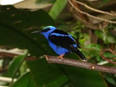 pretty bird =D (zomersterren) Tags: blue bird zoo blijdorp blauw vogel dierentuin redleggedhoneycreeper naturescall cherishedmoments treeofhonor thewonderfulworldofbirds roodpootsuikervogeltje suikervogel