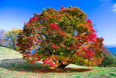Autumn tree (takay) Tags: autumn tree japan maple  bec nagano beautifulscenery fallscenery  coloredleaves  autumnscenery takay vosplusbellesphotos oominekougen