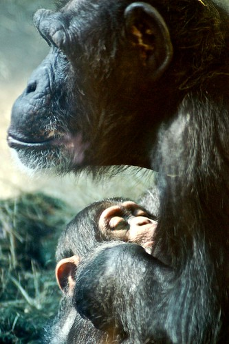Baby chimp nursing