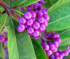 Remember Summer Color? (Trish Overton) Tags: berry berries explore blooms shrub vosplusbellesphotos