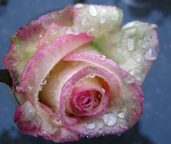 Fragile rose (ToJoLa) Tags: pink rain rose canon garden drops roos tuin waterdrops 2008 regen roze appeltern tuinen tuinenvanappeltern abigfave christmasgarden canong9 waterdropsmacros thebestofmimamorsgroups kersttuin