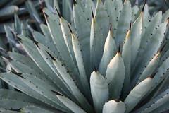 phoenix botanical gardens agave 7