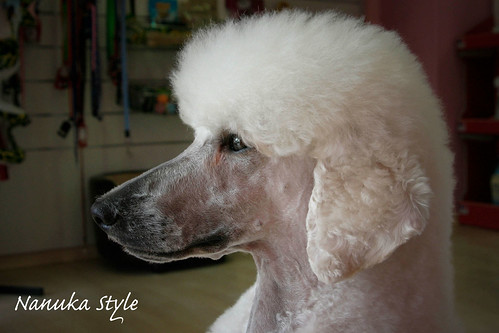 Peluquería Canina Nanuka Style: El Caniche. La Diva de las ...