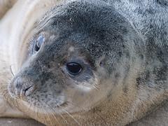 Seal (corsajon) Tags: seals donnanook sealpups