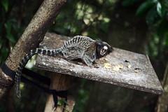 Sagi-de-tufos-brancos (poperotico) Tags: brasil temple monkey saopaulo buddhist macaco mico templo zulai sagui budista cotia canon2470 saguidetufosbrancos