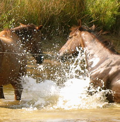 Horsing around (cdvoorhis) Tags: horse water splash