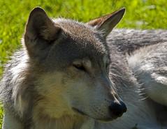 Lazy Grey Wolf