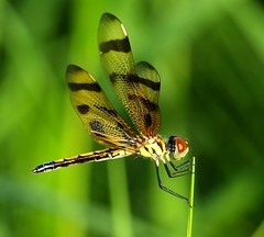 (ChinaLeft) Tags: macro green nature gold dragonflies dragonfly insects bugs pennants halloweenpennant colorsofthesoul