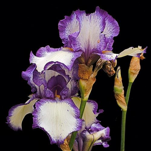 white and violet iris