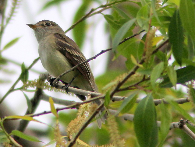 Least Flycatcher 20110513