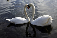 love struck romeo .. swan heart (kjlast) Tags: park uk england love canon 350d rebel xt kent heart valentines rebelxt february feb countypark leybourne snodland theyaremine mywinners incrediblenature llovemypic swanhearts pleasedontusethisimageonwebsites blogsorothermediawithoutmyexplicitpermissionthesephotosarentfree pleaserespectthatallrightsreserved
