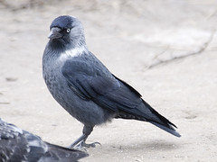Jackdaw by Sergey Yeliseev, on Flickr