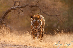 Heading my way 1 (dickysingh) Tags: india nature cat outdoor wildlife bigcat aditya predator soe ranthambore singh potofgold ranthambhore dicky tigerreserve wildtiger pantheratigristigris shieldofexcellence adityasingh ranthamborebagh theranthambhorebagh goldwildlife indiatiger