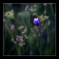afterglow (strobe_n) Tags: pink blue wild green twilight weeds mood purple blossom some onion bluedicks canon30d leitzsummitar50mmf2 dichelostemmacapitiatum indianonion