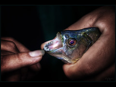 Fishing piranhas (Kaj Bjurman) Tags: fish peru dark eos hands raw nail hdr piranha amazonas piranhas cs3 photomatic 40d