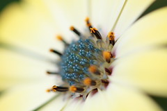 center of a daisy I (hiromisuzuki) Tags: anawesomeshot aplusphoto blueribbonwinner canonef100mmf28 daisies daisy eoskissx2 eos450d excellence flower flowerotica flowers goldstaraward japan macro mygarden nature osteospermum soe superbmacroflowers theperfectphotographer theunforgettablepictures yellow yellowflower
